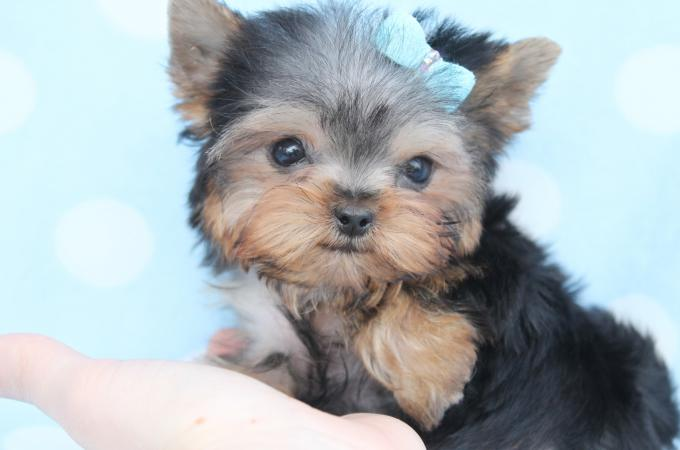 teacup Yorkie with ribbon