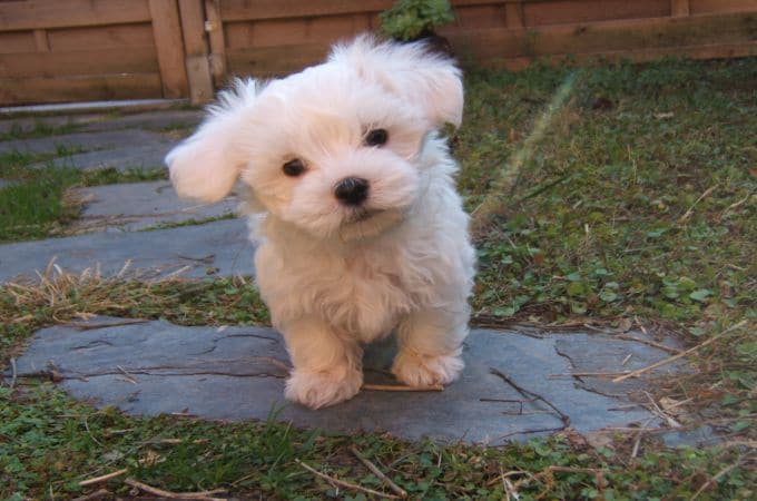 White Teacup Maltipoo