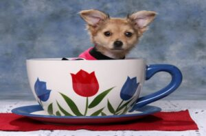 TeaCup Dogs Vs Toy Dogs