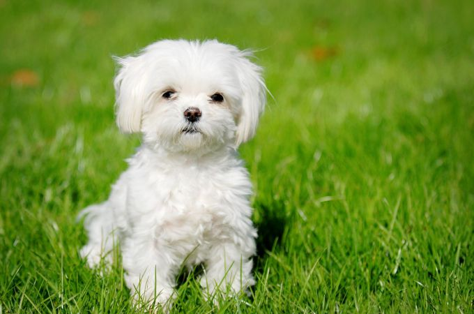 Teacup Maltipoo Adult
