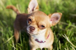 Teacup Chihuahua Playing on the Garden