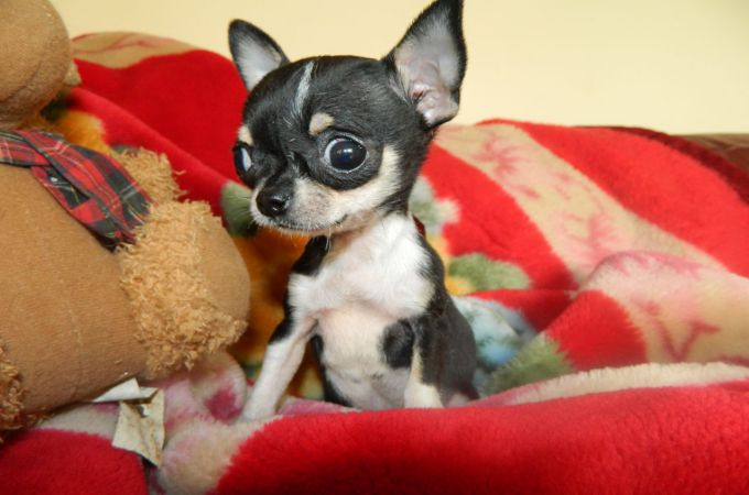 Teacup Chihuahua with big Eyes