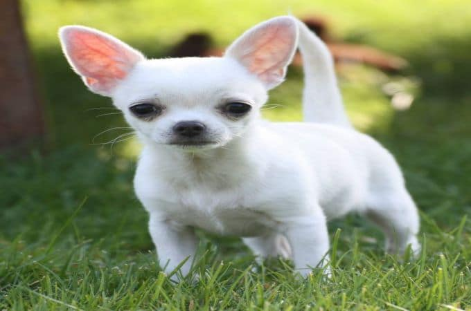 Full Grown Teacup Chihuahua