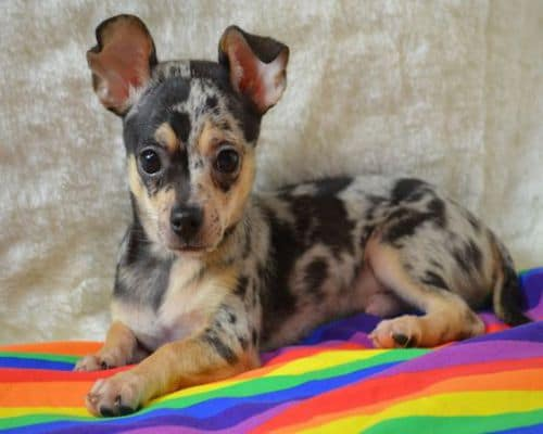 Merle Chihuahua With amazing Blue Markings
