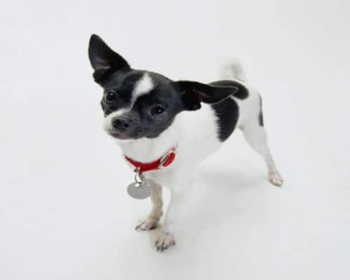 Piebald Chihuahua Puppy Color Black and White