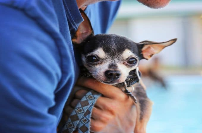 Different-Types-of-Chihuahuas