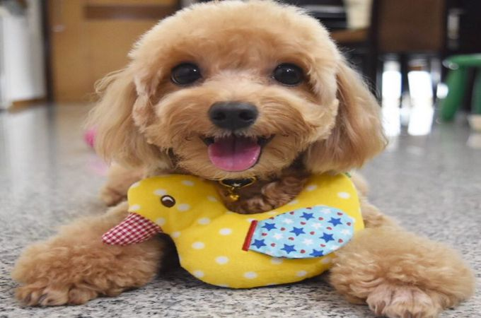 Maltipoo Dog Breed Guide