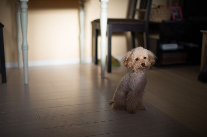 White Toy Poodle Canine Breed Waiting