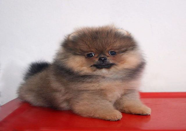 Brown Teacup teacup pom