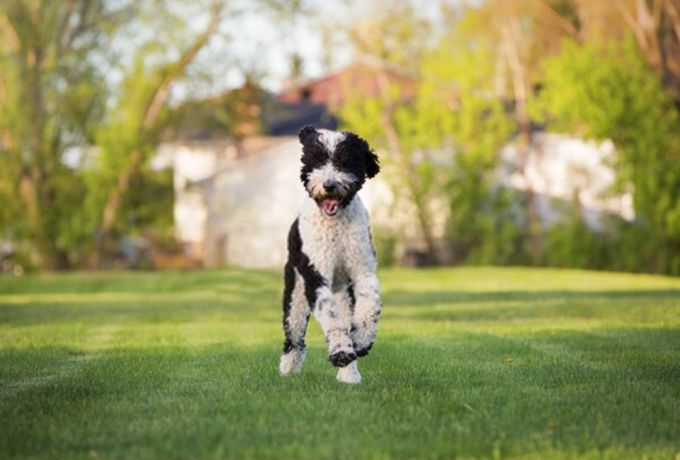Full Grown Poodle Mix (Sheepadoodle)