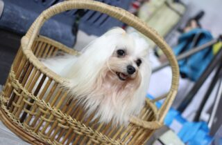 White Shih-Tzu Inside the basket