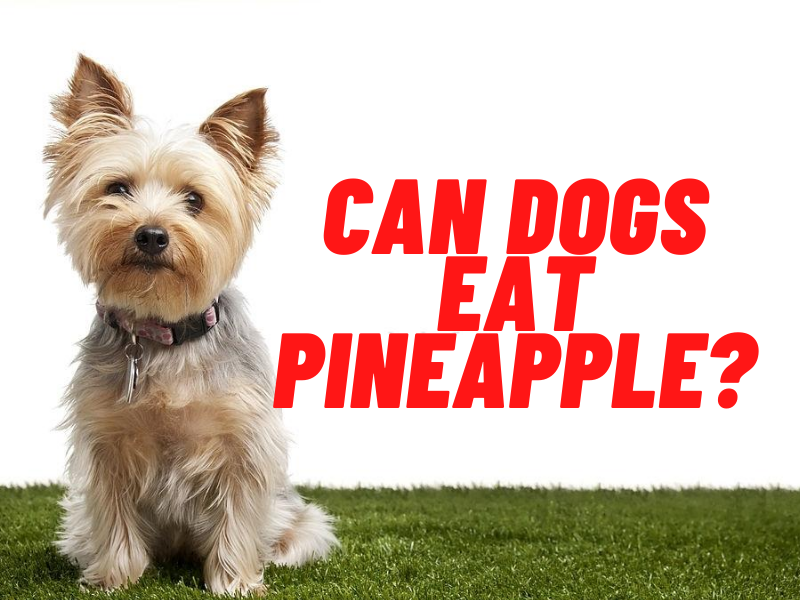 can dogs eat pineapple guide