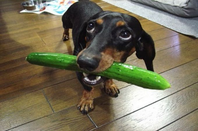Dogs Eating Big Cucumber