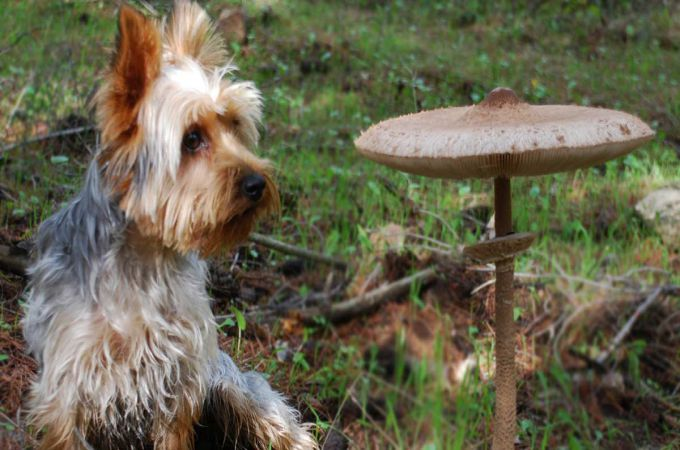 Are Mushrooms safe for dogs?