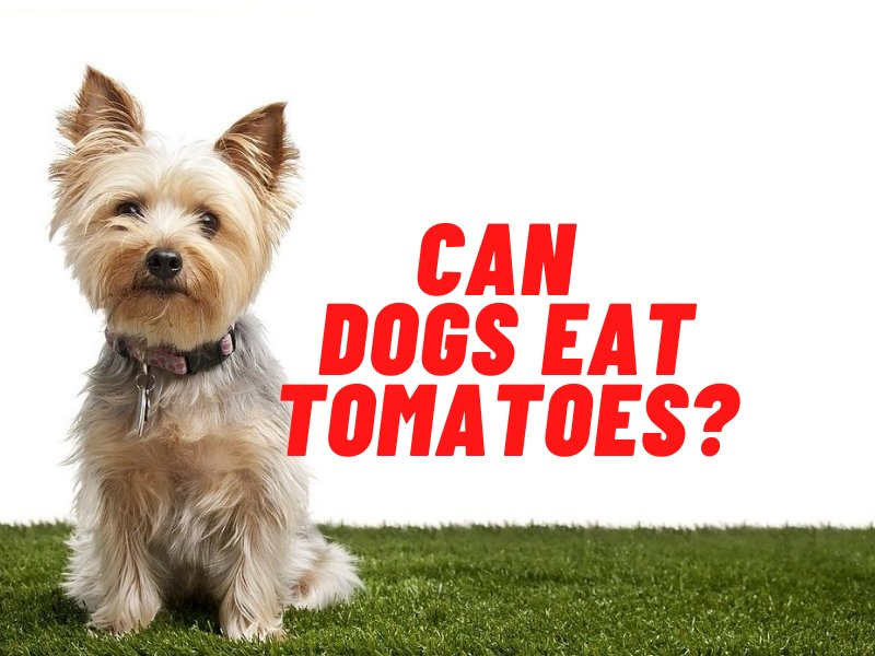 can dogs eat tomatoes guide