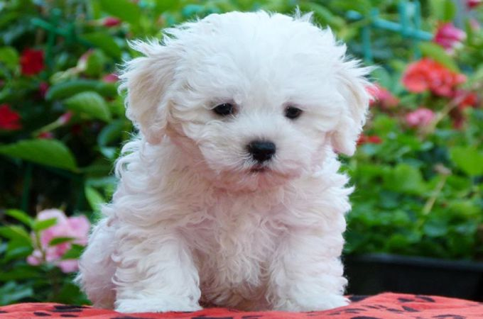 Bolognese one of the maltese mix dog