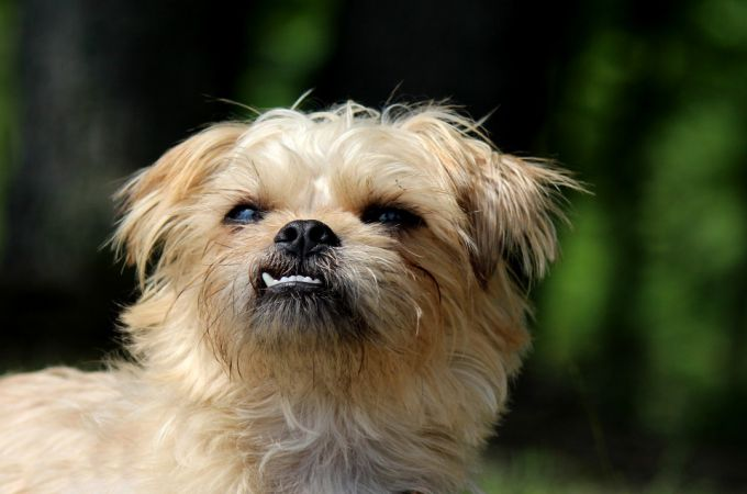 Cute Small Brussels Griffon Smiling