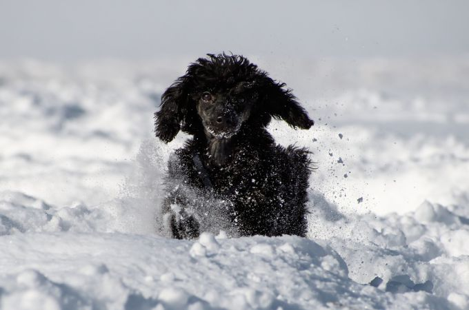Happy Poodle Playing on Snow