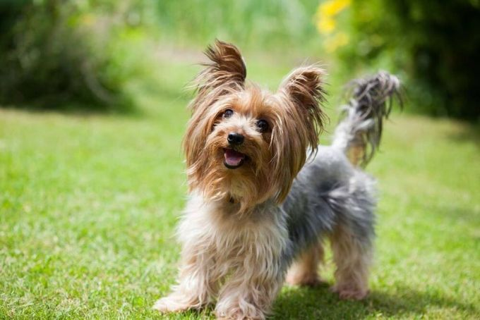 Cute Yorkshire Terrier wants to play