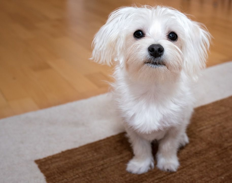 best small dog for apartment