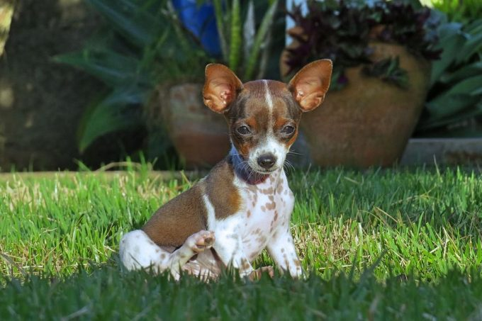 Best small dogs for apartment