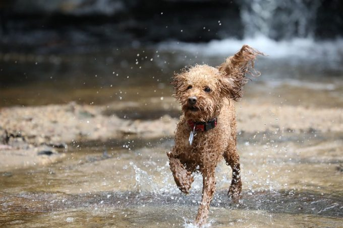 Poodle playing in the water