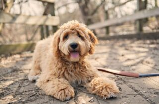 Goldendoodle guide