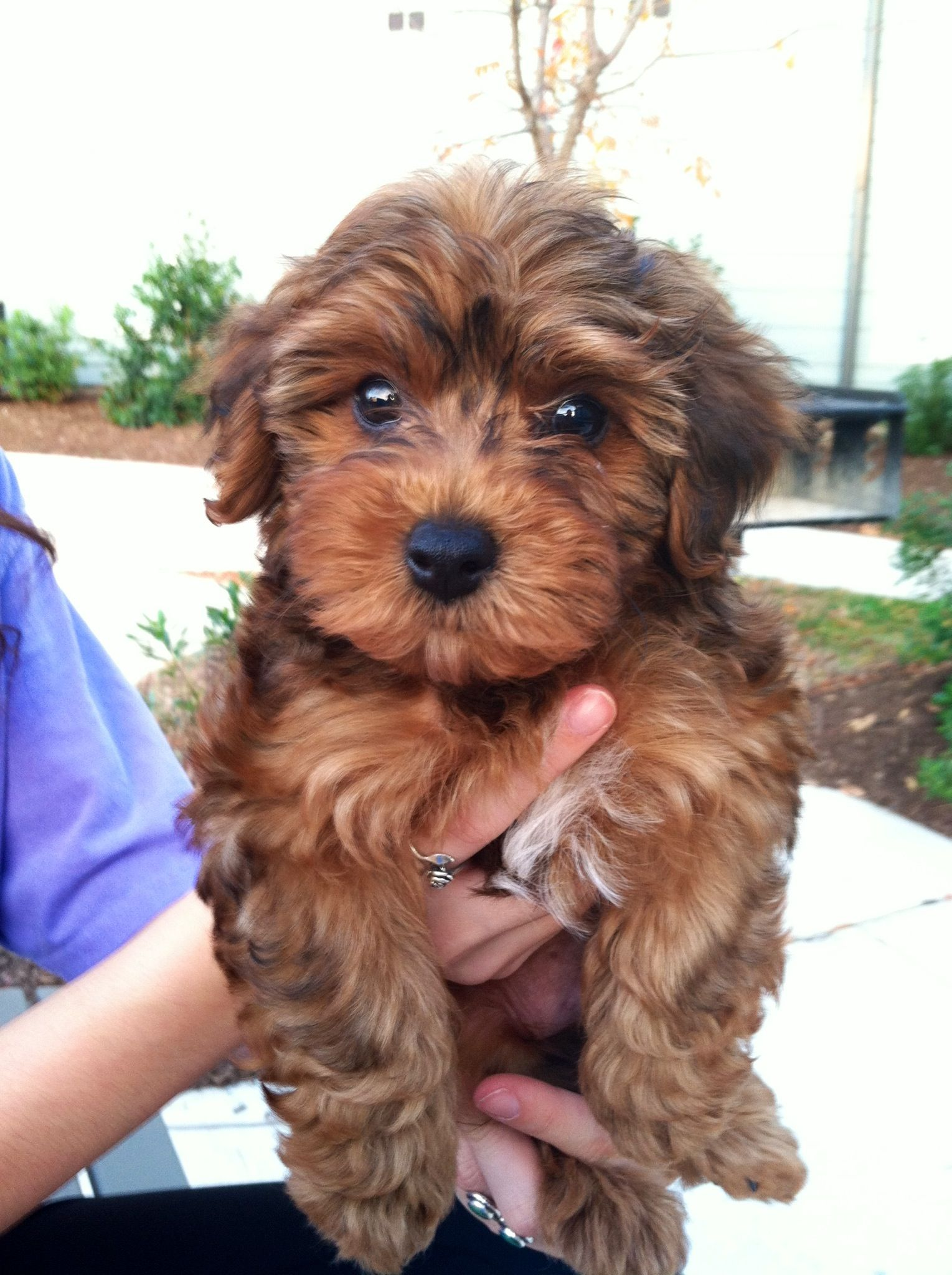 Yorkie Poo - The Cutest and Adorable Mix of Yorkie and ...