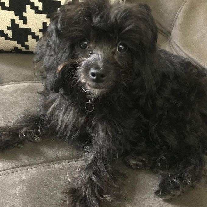 Black poodle dachshund mix sitting at the sofa