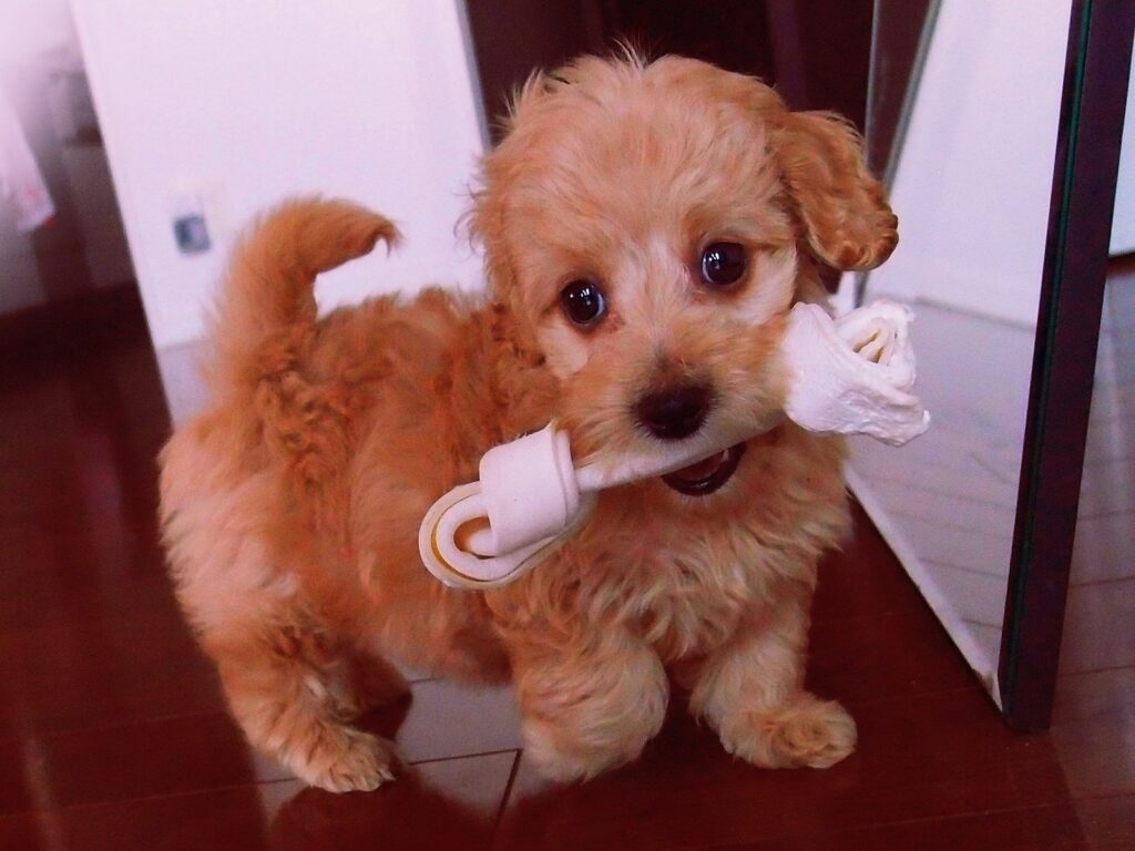 doxiepoo breed information
