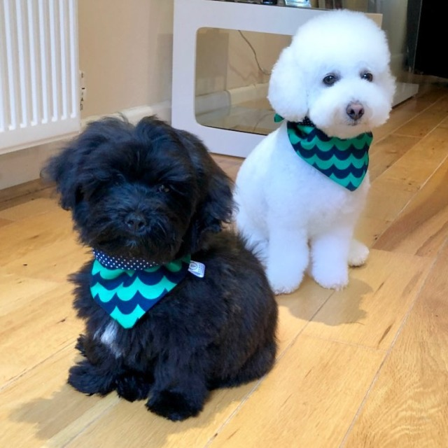 Black and white lhasapoo dogs