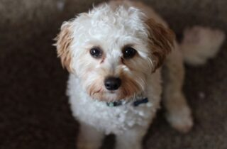 Cavapoo full grown