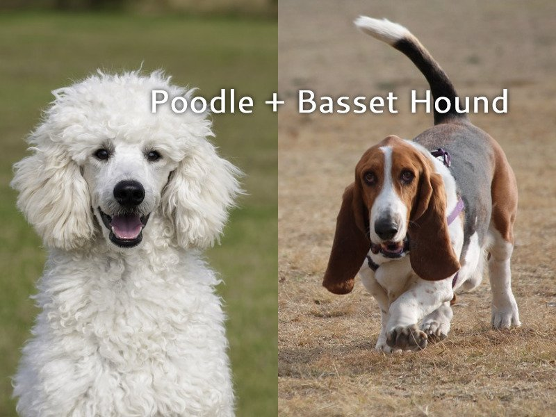 Bassetoodle Facts