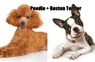 Bosipoo = Poodle + Boston Terrier