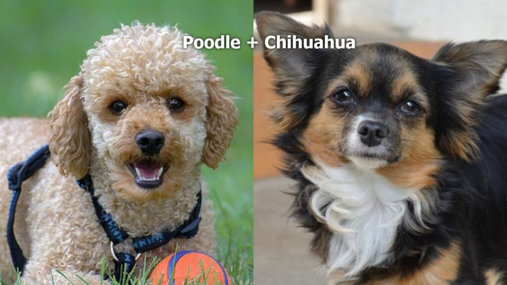 Chi-poo Facts