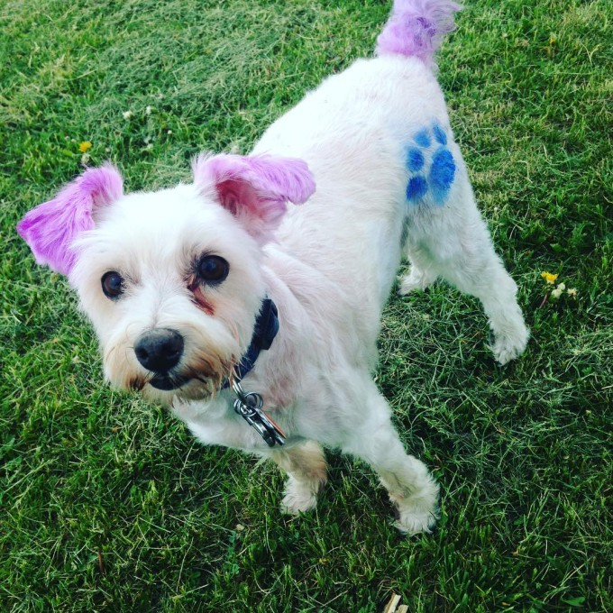 White jack russell poodle mix