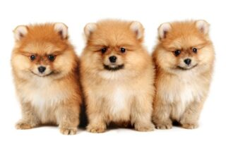 Pompom dogs in white background