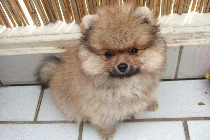 Cute Pomeranian Mix