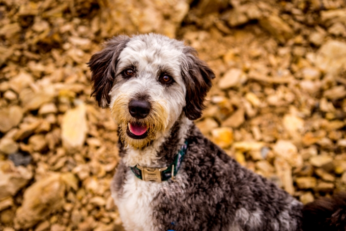 Aussiedoodles dog guide