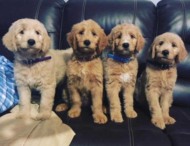 goldendoodle puppies picture