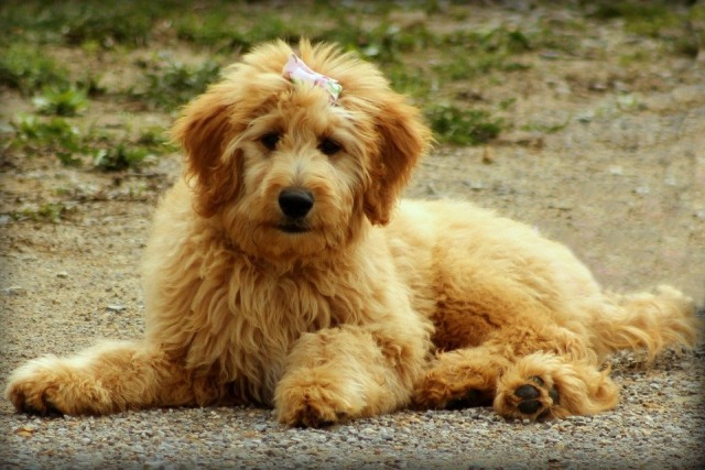 Cute goldiepoo