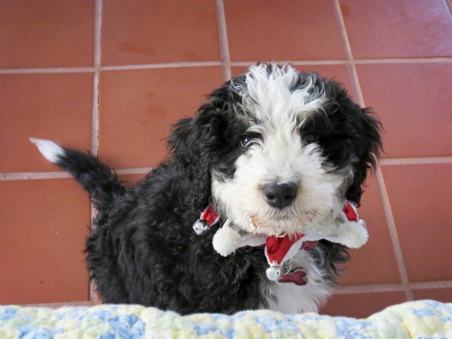 bernese mountain dog poodle mix puppy