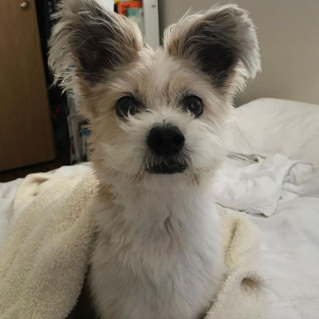 Cute Papas-Tzu with big ears