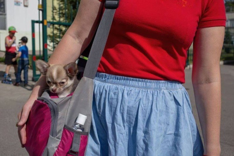 Chihuahua inside a puppy sling carrier