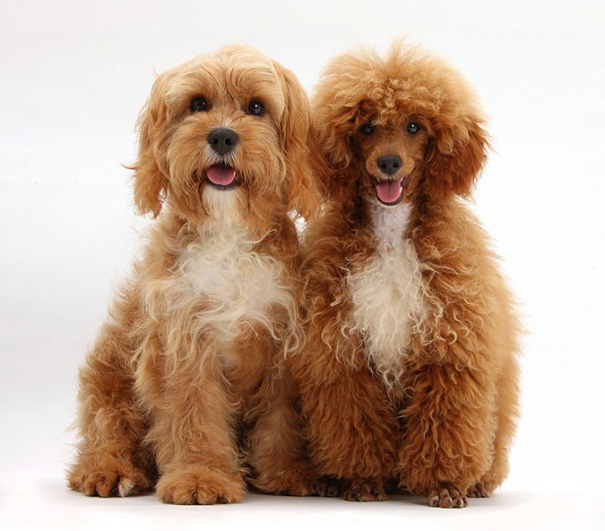 Cavalier King Charles Spaniel Poodle mixes