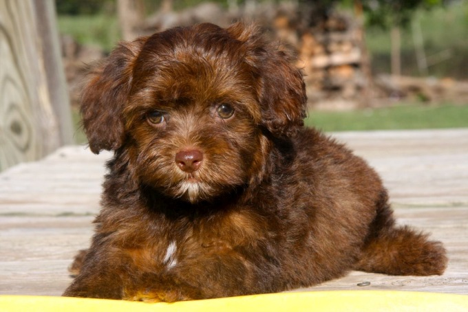 brown poodle yorkshire terrier mix