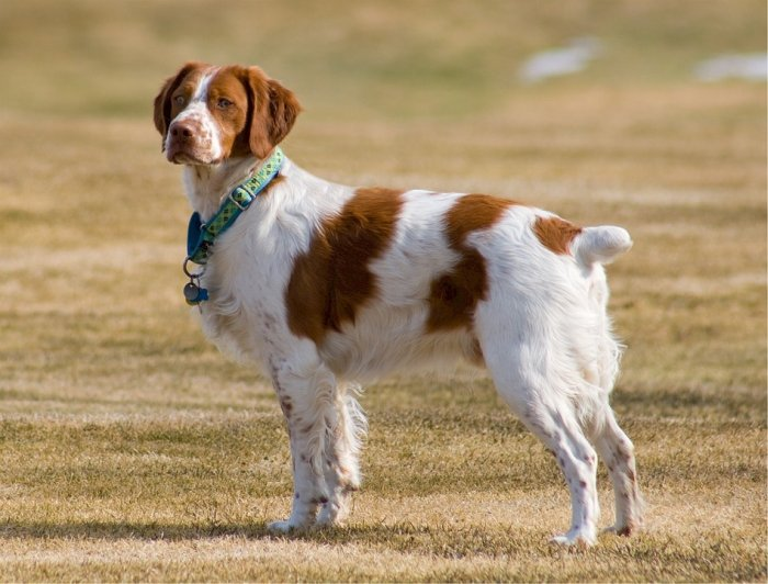 brittany point setter dog breed