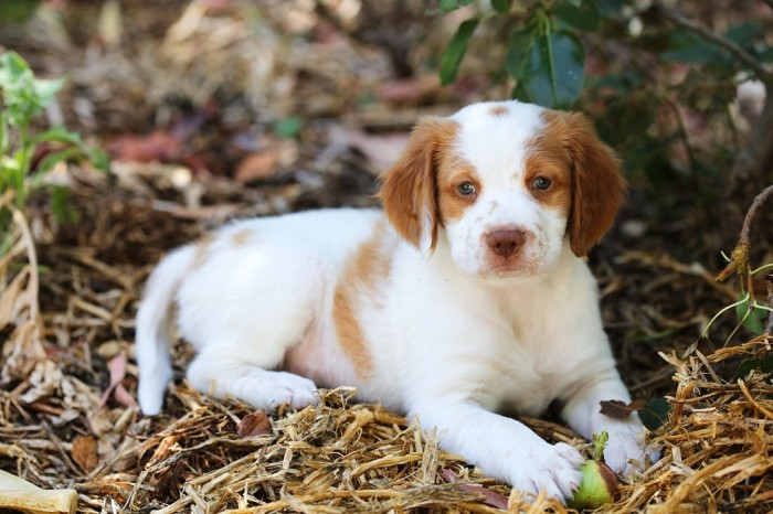 Brittany dog puppy