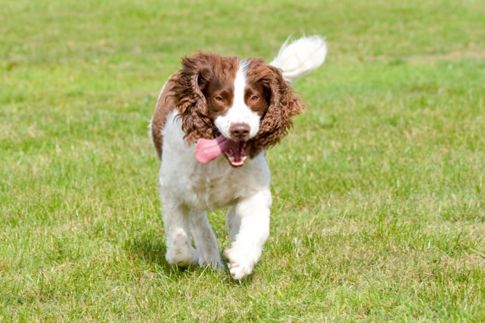 English Springer Spaniel wants to play
