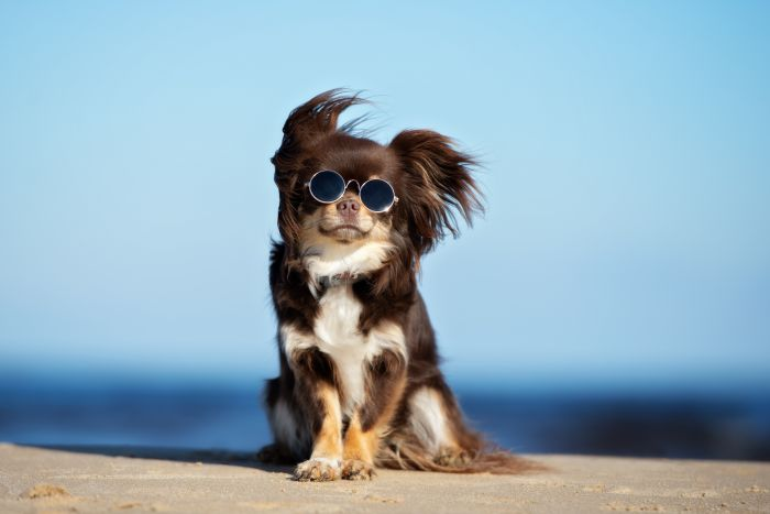 Cool long-haired Chihuahua posing for a photo